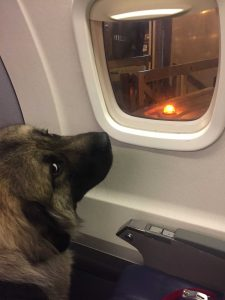 Caucasian-Ovcharka-dog-on-a-plane