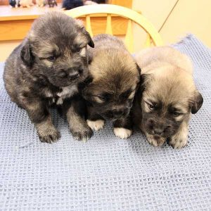 three-russian-mountain-dog-puppies