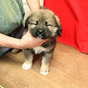 female Caucasian Ovcharka puppy for sale, tri-colored