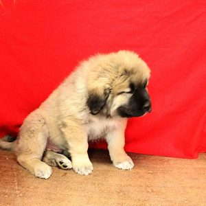 male caucasian ovcharka puppy for sale with fawn coloring