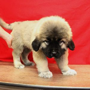 male caucasian ovcharka puppy with funny facial expression