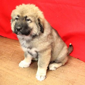 male causcasian ovcharka puppy sitting up, puppy for sale