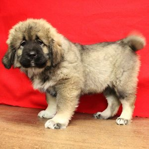 female Caucasian Ovcharka puppy for sale