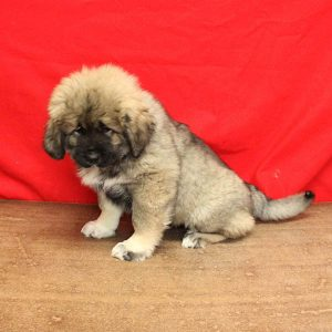 female russian Caucasian puppy sitting