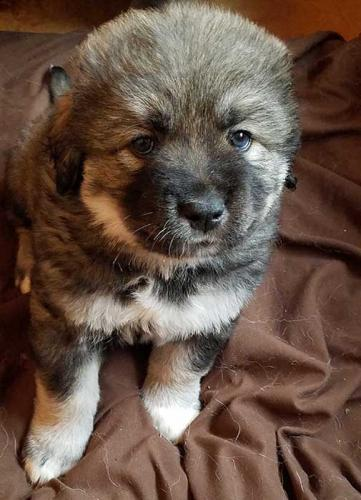 Caucasian Ovcharka Puppy 7 from 1st litter