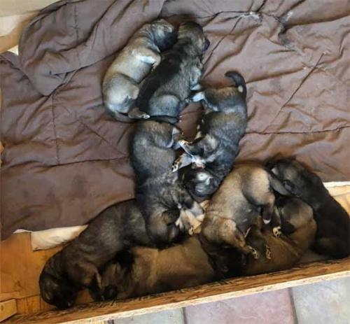 Russian Mountain Dog puppies sleeping in a pile