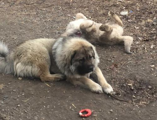 Caucasian Ovcharka dogs rolling in mud