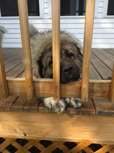 Russian Caucasian Mountain Dog on porch