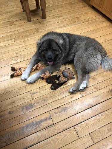 Russian Mountain Dog Shepherd with his toys
