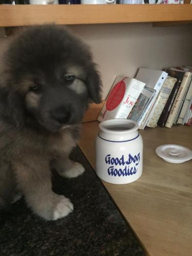Caucasian Ovcharka puppy with a jar that says dog treats - funny dog photo